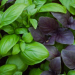 Basil-Mixed