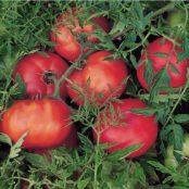 Silvery Fir Tree tomato