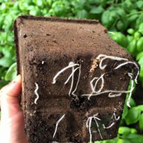 Cow Pots allow roots to grow naturally without restriction and break down quickly once planted.