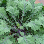 kale-red-russian