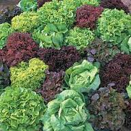 lettuce-mixed
