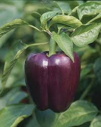 pepper-PurpleBeauty